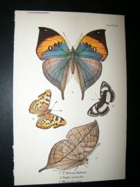 Allen & Kirby 1890's Antique Butterfly Print. Killima Huttoni